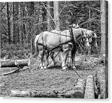 Photograph Of Horses Pulling Logs In Maine Forest Canvas Print by Keith Webber Jr