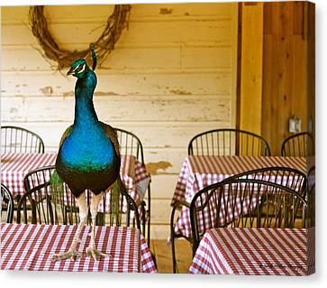 Picnic Peacock Canvas Print by Tabitha Williams