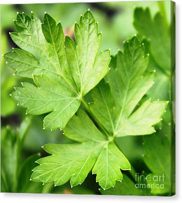 Picture Perfect Parsley Canvas Print by French Toast