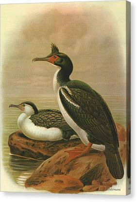 Pied Shag And Chatham Island Shag Canvas Print by J G Keulemans