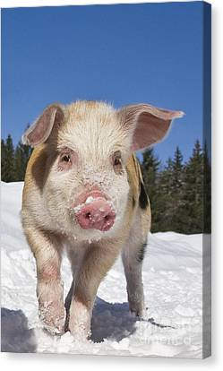 Piglet Walking In The Snow Canvas Print by Jean-Louis Klein and Marie-Luce Hubert