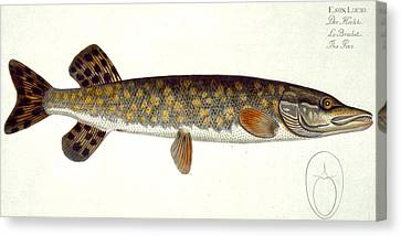 Pike Canvas Print by Andreas Ludwig Kruger