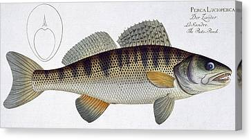 Pike Perch Canvas Print by Andreas Ludwig Kruger