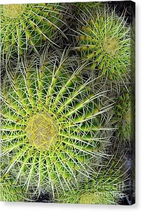 Pincushion Cactus  Canvas Print by Ranjini Kandasamy