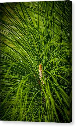 Pine Needles Canvas Print by Marvin Spates