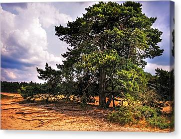 Pine Tree In Hoge Veluwe National Park 1. Netherlands Canvas Print by Jenny Rainbow
