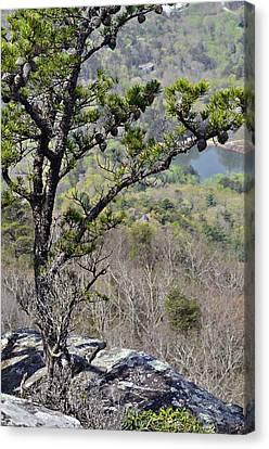 Pine Tree On A Mountain Canvas Print by Susan Leggett