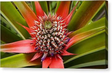Pineapple Plant Canvas Print by Aged Pixel
