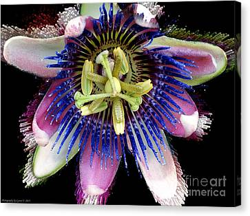 Pink And Blue Passion Flower Canvas Print by Gena Weiser