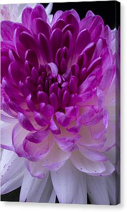 Pink And White Mum Close Up Canvas Print by Garry Gay