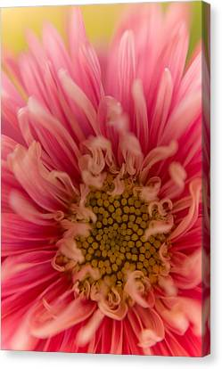 Pink Aster Canvas Print by Benita Walker