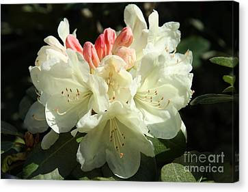 Pink Buds Canvas Print by Christiane Schulze Art And Photography
