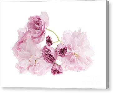 Pink Cherry Blossoms Canvas Print by Elena Elisseeva