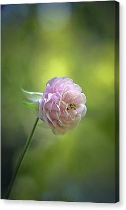Pink Columbine Canvas Print by  Andrea Lazar