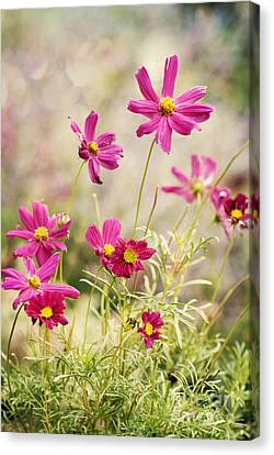 Pink Cosmos Canvas Print by Juli Scalzi