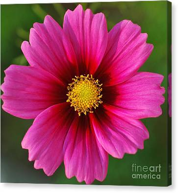 Pink Cosmos Canvas Print by Kathleen Struckle