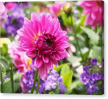 Pink Dahlia Canvas Print by Rona Black