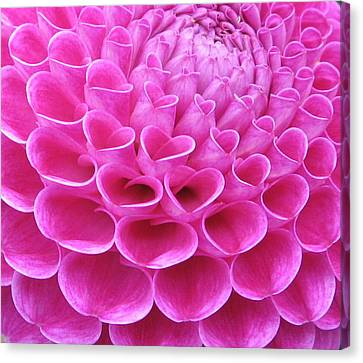 Pink Delight Canvas Print by Brian Chase