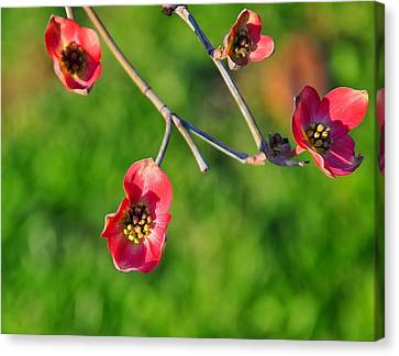 Pink Dogwood Blossoms Canvas Print by Chris Flees