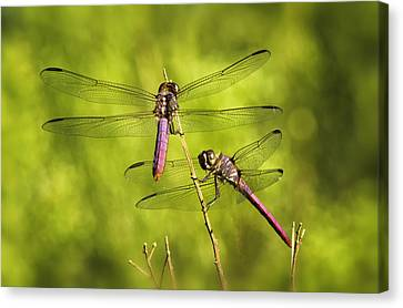Pink Dragonflies Canvas Print by Saija  Lehtonen