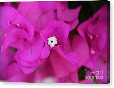 Pink Flower Of Malaga Canvas Print by Mahsa Watercolor Artist