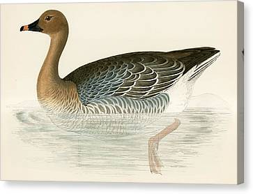 Pink Footed Goose Canvas Print by Beverley R Morris