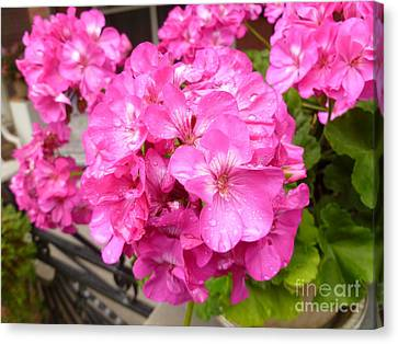 Pink Geranium After The Rain Canvas Print by Lingfai Leung