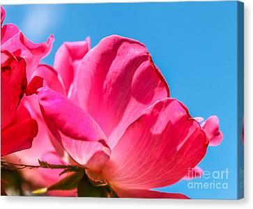 Pink Glory Canvas Print by Brandon Hussey