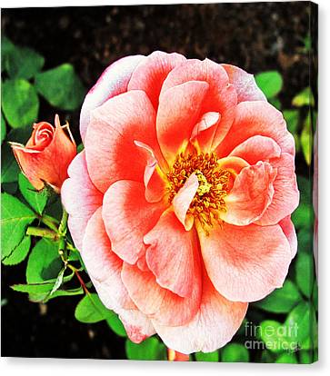 Pink Grace Canvas Print by Nishanth Gopinathan