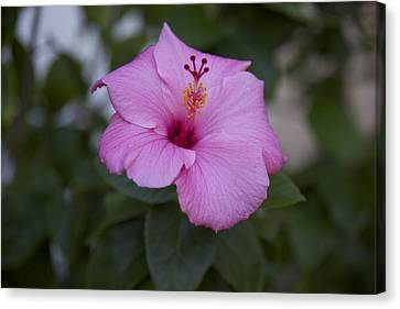 Pink Hibiscus Canvas Print by Terry Horstman