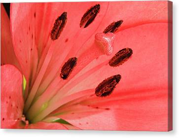Pink Lily Macro Canvas Print by Adam Romanowicz