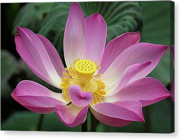 Pink Lotus Flower, Water Lily, Nymphaea Canvas Print by Emily Wilson