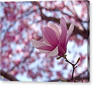 Pink Magnolia Canvas Print by Rona Black
