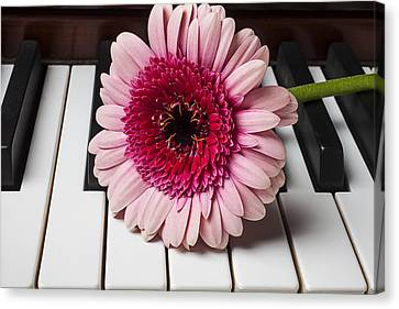 Pink Mum On Piano Keys Canvas Print by Garry Gay
