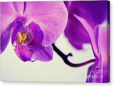 Pink Orchids Close-up Canvas Print by Sabine Jacobs