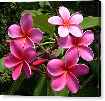 Pink Plumeria Canvas Print by Claude McCoy