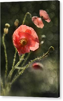 Pink Poppies Impression Canvas Print by Jaroslaw Blaminsky
