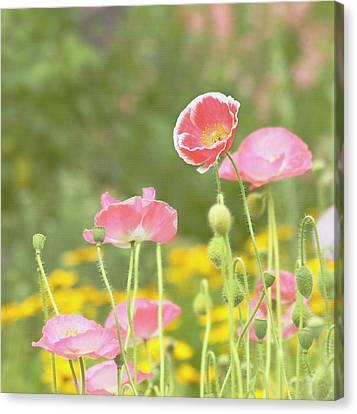 Pink Poppies Canvas Print by Kim Hojnacki