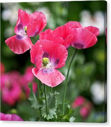 Pink Poppies Canvas Print by Rona Black