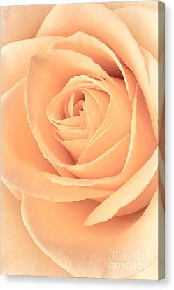 Pink Rose Canvas Print by Edward Fielding