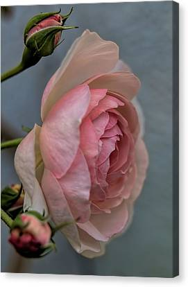 Pink Rose Canvas Print by Leif Sohlman