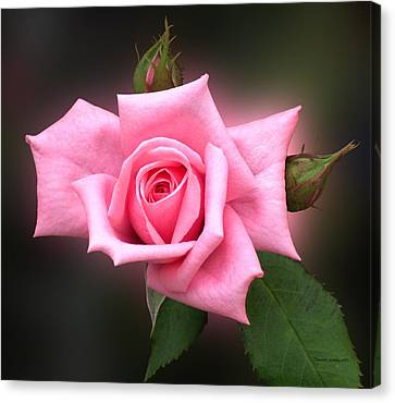Pink Rose Canvas Print by Thomas Woolworth