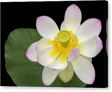 Pink Sacred Lotus Flower Canvas Print by Susan Candelario