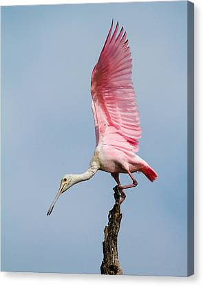 Pink Spoonbill Ready For Takeoff Canvas Print by Bill Swindaman