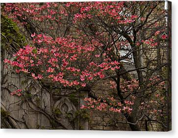 Pink Spring - Dogwood Filigree And Lace Canvas Print by Georgia Mizuleva