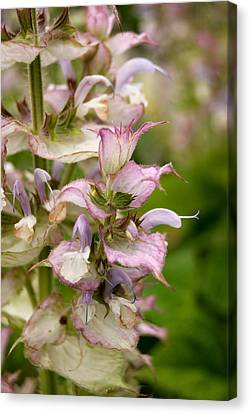 Pink Summer Sage Canvas Print by Eva Kaufman