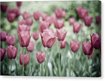 Pink Tulip Field Canvas Print by Frank Tschakert