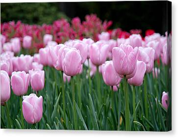 Pink Tulip Garden Canvas Print by Jennifer Ancker