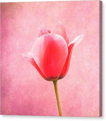 Pink Tulip Canvas Print by Art Spectrum