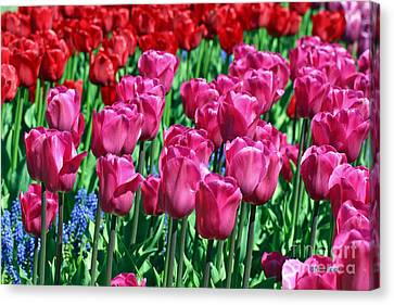 Pink Tulips Canvas Print by Tap  On Photo